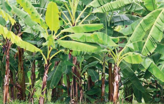 banana-trees